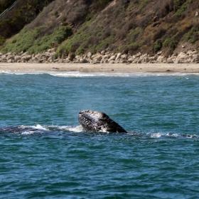 Grey Whale Migration off the Santa Barbara Coast. Credit: Dennis Clegg