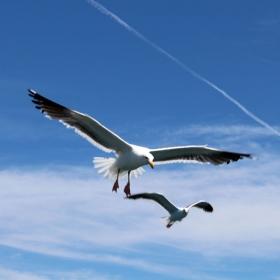 Gulls Overhead. Credit: Dennis Clegg