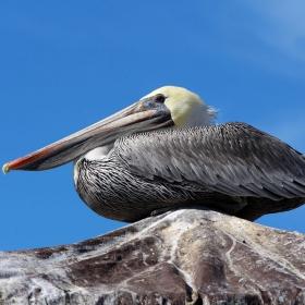 California Brown Pelican at the Santa Barbara Harbor. Credit: Dennis Clegg