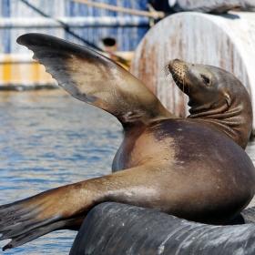 California Sea Lion at the Santa Barbara Harbor. Credit: Dennis Clegg