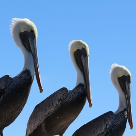 A Pod of California Brown Pelicans. Credit: Dennis Clegg